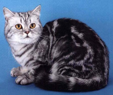 Кошка скотиш страйт черный серебряный