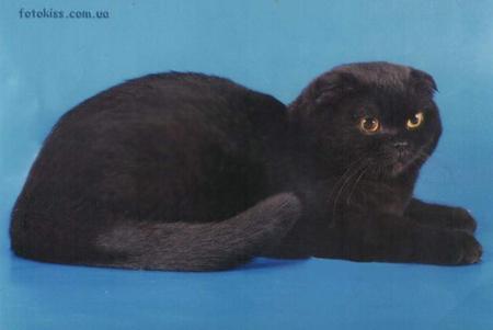 Кошка шотландская вислоухая черная
